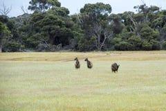 Kangourous à l'aube Photo libre de droits