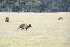 Kangourous à l'aube Photos stock