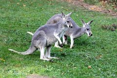 kangourous Photographie stock