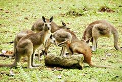 Kangourous Photo stock