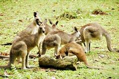 Kangourous Photos libres de droits
