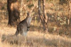 Kangourous Photographie stock libre de droits