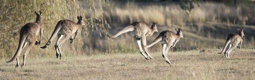kangourous Image libre de droits