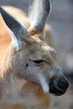 Kangourous australiens Photos libres de droits
