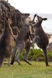 Kangourous de boxe Photos stock