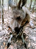 Kangourous de Morisset Photographie stock