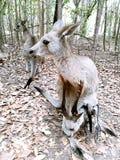 Kangourous de Morisset Photos stock
