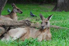 Kangourous de repos Photos libres de droits
