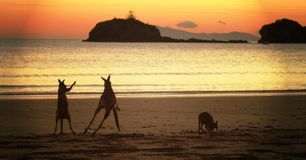 Kangourous de Rockhampton sur la plage Photo stock