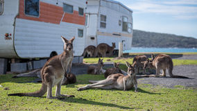 Kangourous devant l'océan Image libre de droits