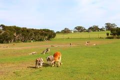 Kangourous errant librement dans le domaine ouvert images libres de droits