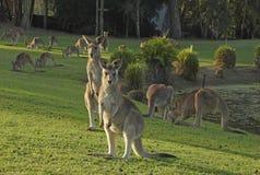 Kangourous gris Photos stock