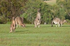Kangourous gris orientaux Photographie stock