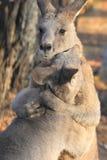 Kangourous gris orientaux Images libres de droits
