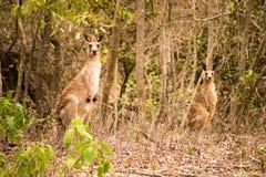 Kangourous gris orientaux Image stock