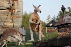 Kangourous Stock Photos