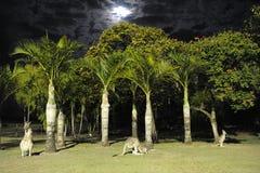 Kangourous nocturnes Images libres de droits