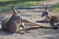 Kangourous paresseux Photographie stock libre de droits