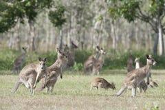 Kangourous rouges Photographie stock