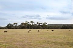 Kangourous sautants à l'aube Images libres de droits