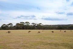 Kangourous sautants à l'aube Image libre de droits