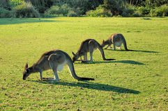 Kangroo herd-Australia Stock Photos
