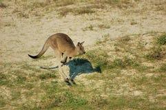 Kangroo hopping-Australia Stock Image
