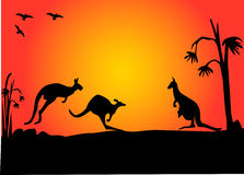 Kangroo sunset Royalty Free Stock Images
