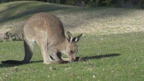 kangurów pastwiskowi potomstwa zdjęcie wideo