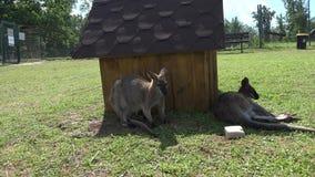 Kangurów zwierzęta kłamają n trawy blisko drewnianego domu w zoologicznym ogródzie zdjęcie wideo