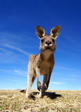kangur Zdjęcie Stock