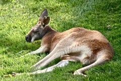kangur Obraz Stock