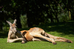 Kangur Zdjęcie Royalty Free