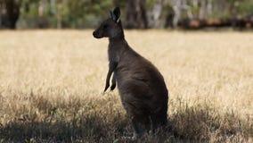 Kangur zdjęcie wideo