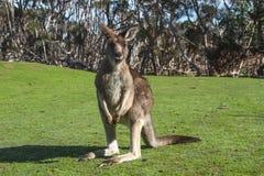 kangur Zdjęcia Royalty Free