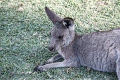 kangur Fotografia Stock