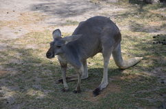 kangur fotografia royalty free