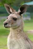 kangur australijski Fotografia Royalty Free