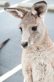 kangur australijski Obrazy Stock