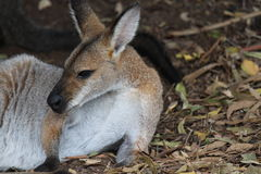 kangur australijski Obrazy Royalty Free