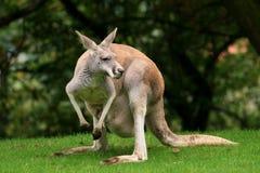 kangur czerwień obrazy royalty free