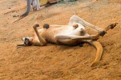 kangur czerwonym śpi Zdjęcie Stock