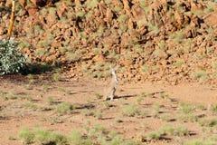 kangur dziki zdjęcie royalty free