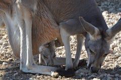 Kangur i Joey Zdjęcie Royalty Free