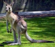 Kangur jest torbaczem fotografia stock