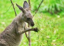 kangur karmienia Obraz Stock
