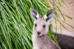 kangur się blisko Fotografia Royalty Free