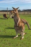 Kangur w Australijskim odludziu Zdjęcia Royalty Free