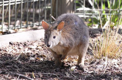 Kangur w niewoli przy Nowymi południowymi waliami, Australia Fotografia Royalty Free