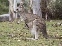 Kangur z joey obwieszeniem z kieszonki Zdjęcia Royalty Free